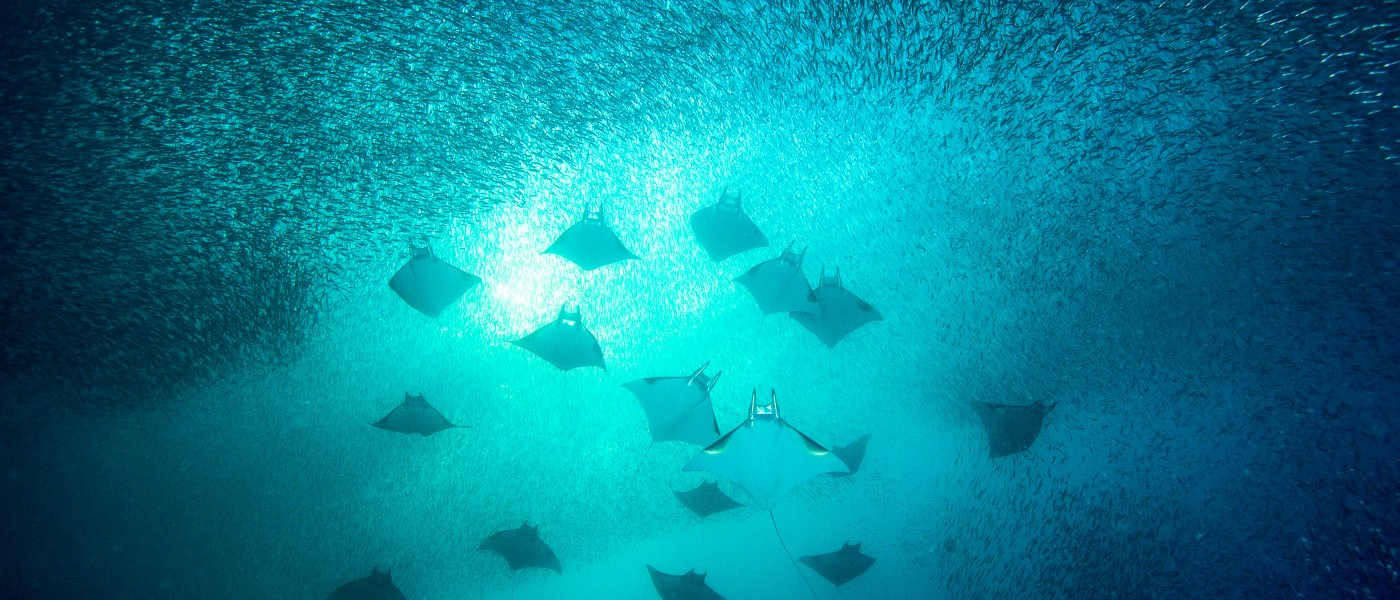 Mobulas (mobula kuhlii) and silversides (atheriniformes sp.)  gather in large numbers every year in Raja Ampat with the schools becoming progressively smaller from week to week.  Raja Ampat, Indonesia.